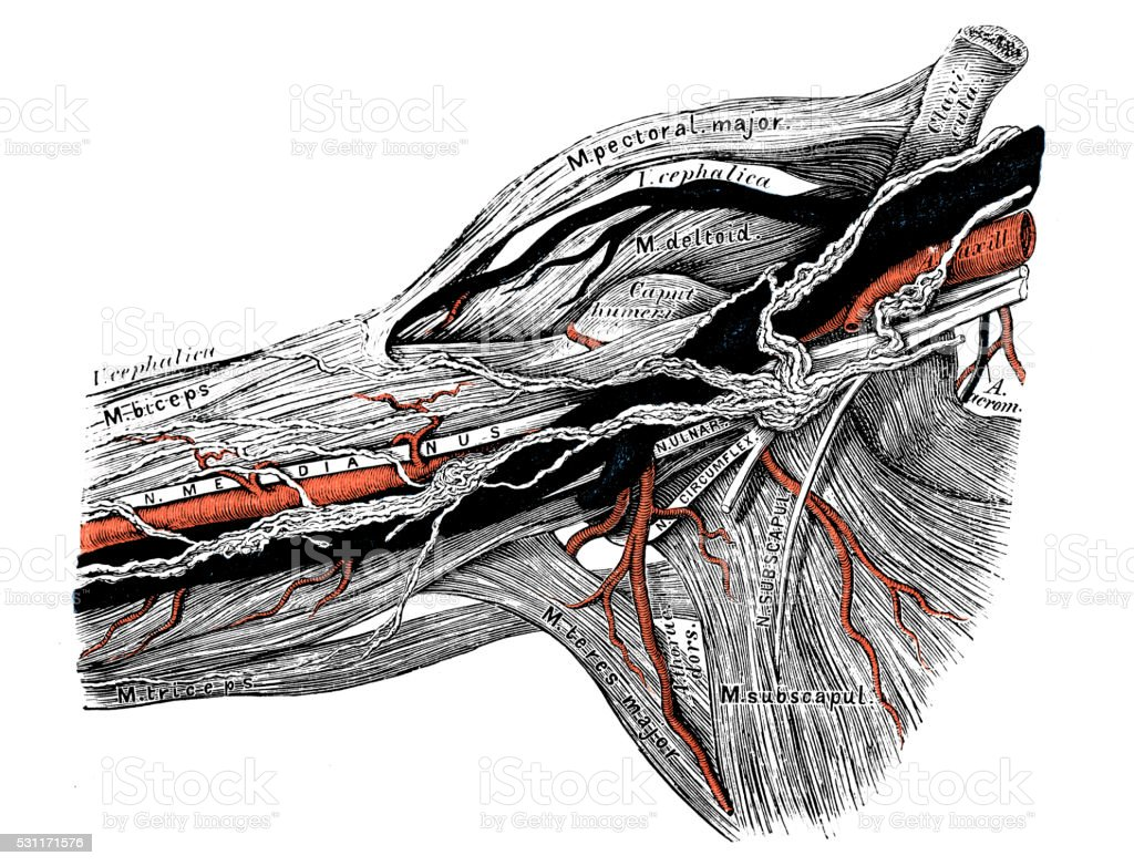 Human anatomy scientific illustrations: axilla lymphatic vessel vector art illustration