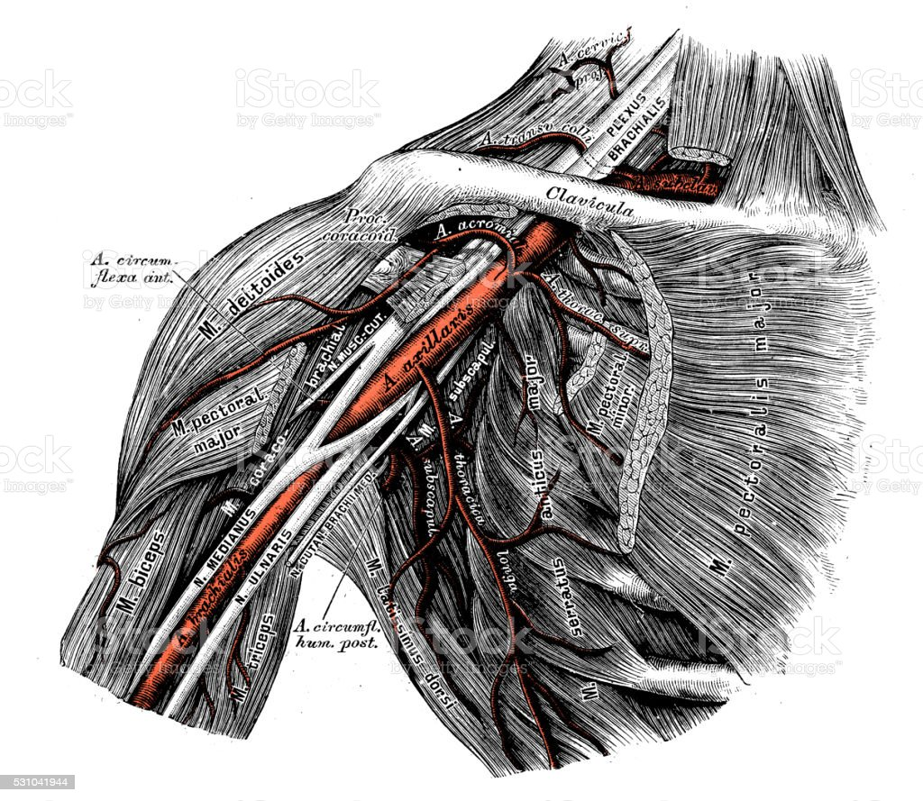 Human anatomy scientific illustrations: Axillary artery vector art illustration