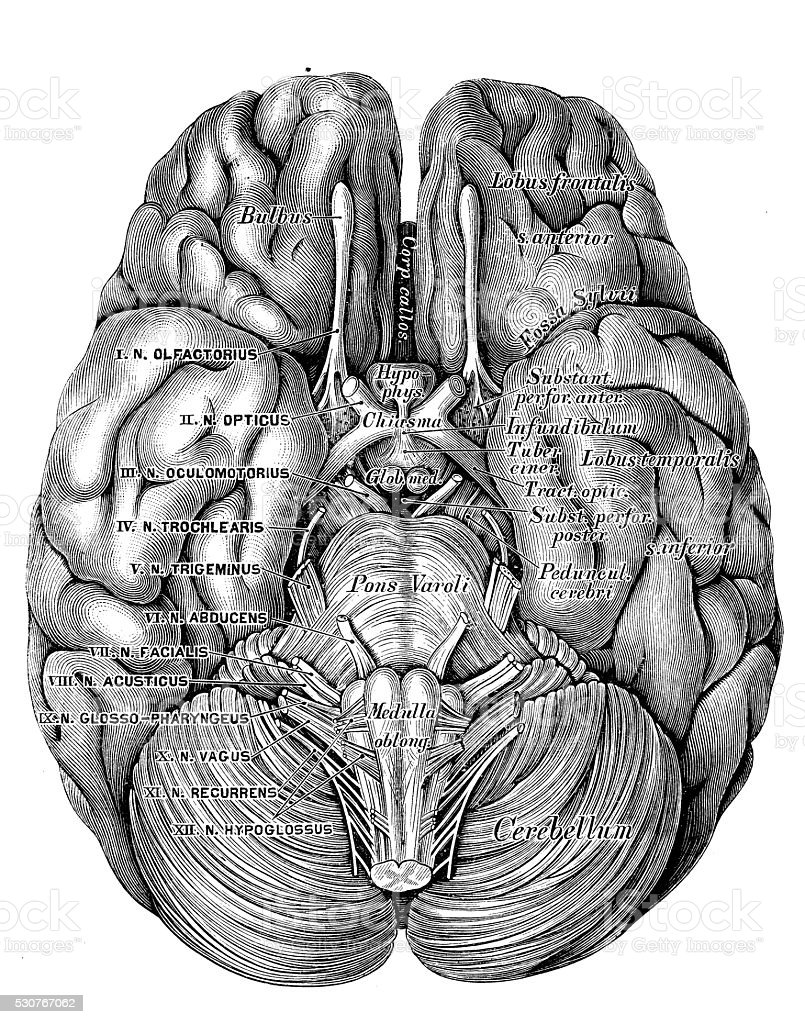 Human anatomy scientific illustrations: Brain bottom view vector art illustration