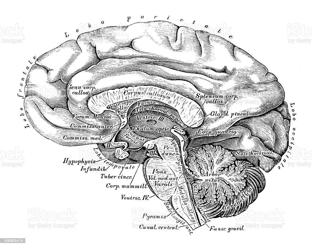 Human anatomy scientific illustrations: Brain side view vector art illustration