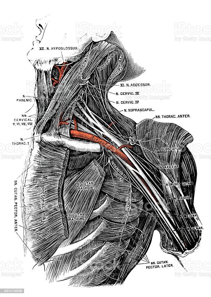 Human anatomy scientific illustrations: deep neck nerves vector art illustration