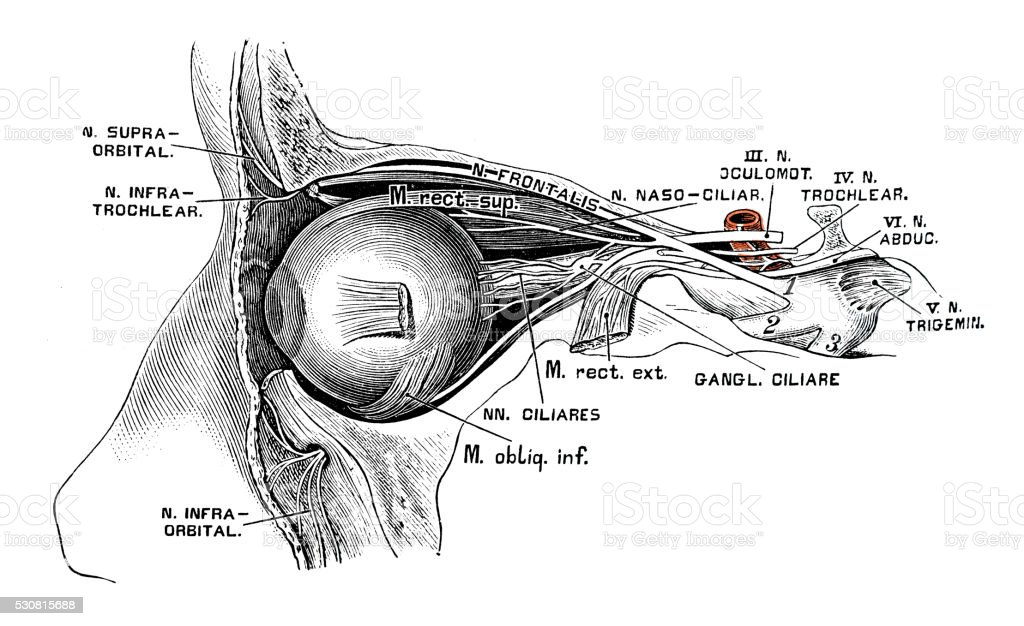 Human anatomy scientific illustrations: Eye nerves vector art illustration