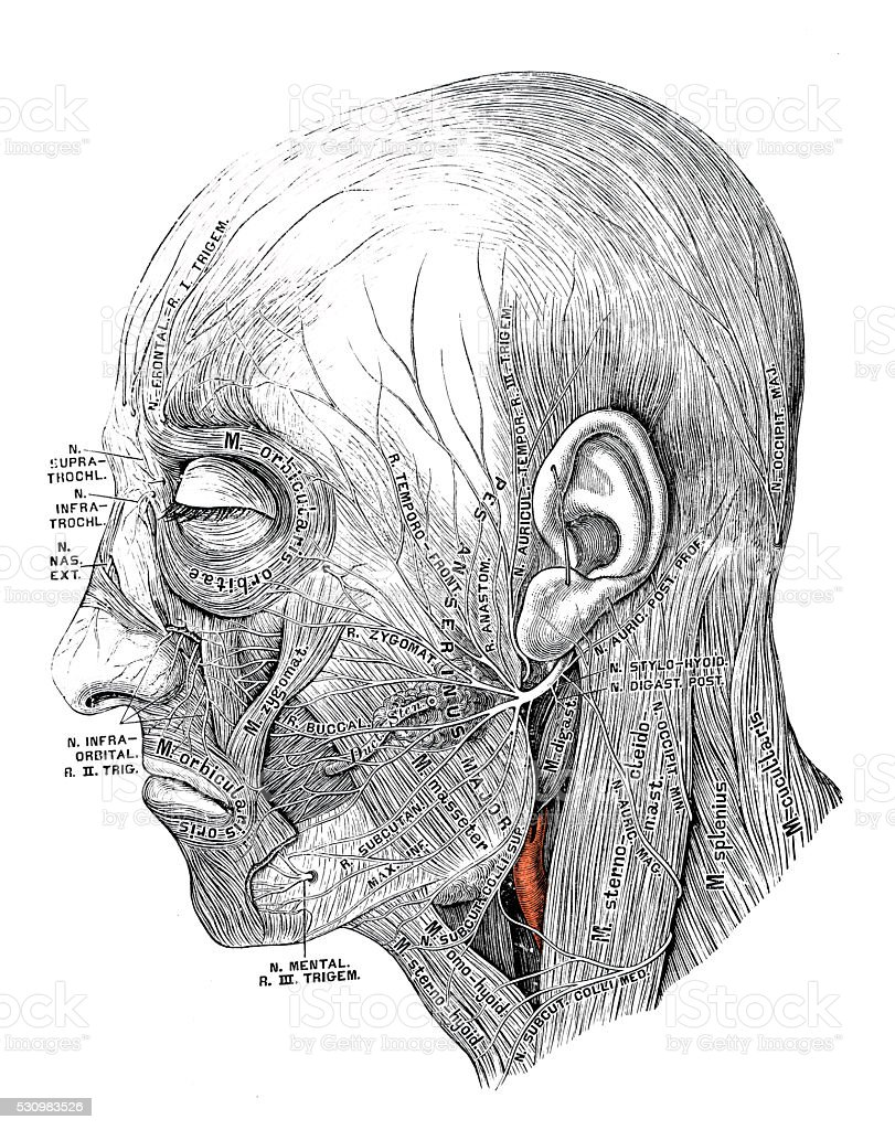 Human anatomy scientific illustrations: Facial nerve vector art illustration