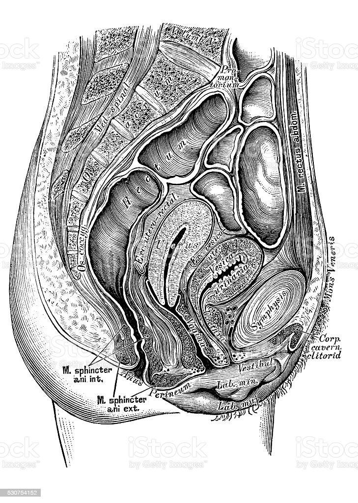 Human anatomy scientific illustrations: female pelvis section vector art illustration