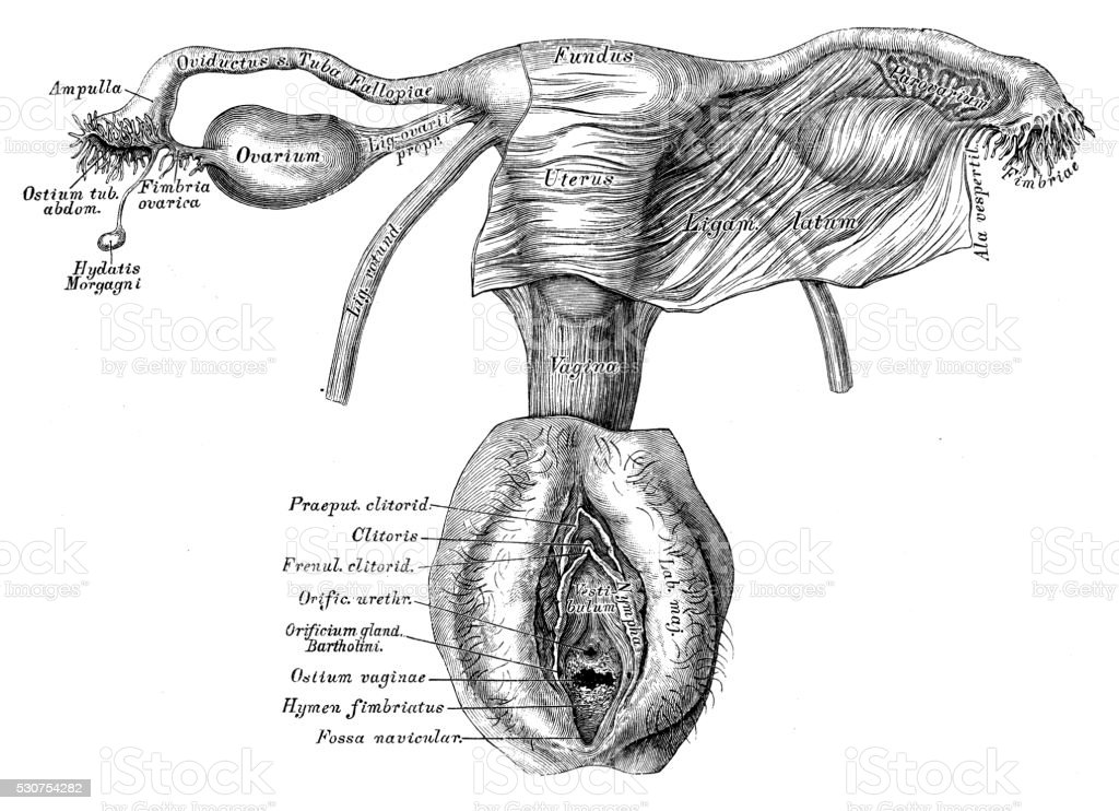 Human anatomy scientific illustrations: female reproductive organ vector art illustration