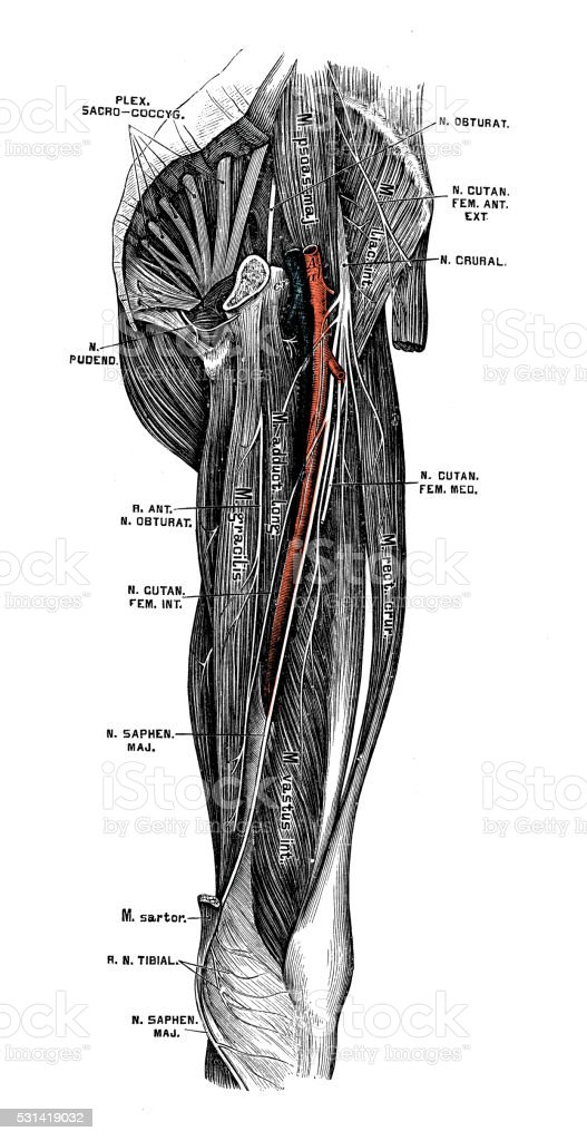Human anatomy scientific illustrations: Femoral nerve vector art illustration