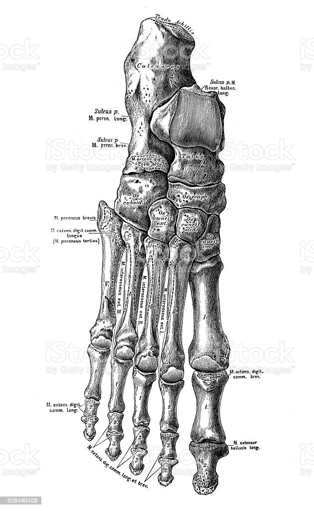 Human anatomy scientific illustrations: foot bones vector art illustration
