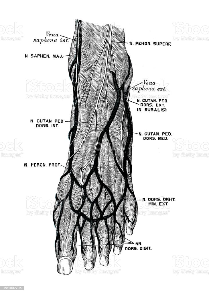 Human anatomy scientific illustrations: foot nerves vector art illustration