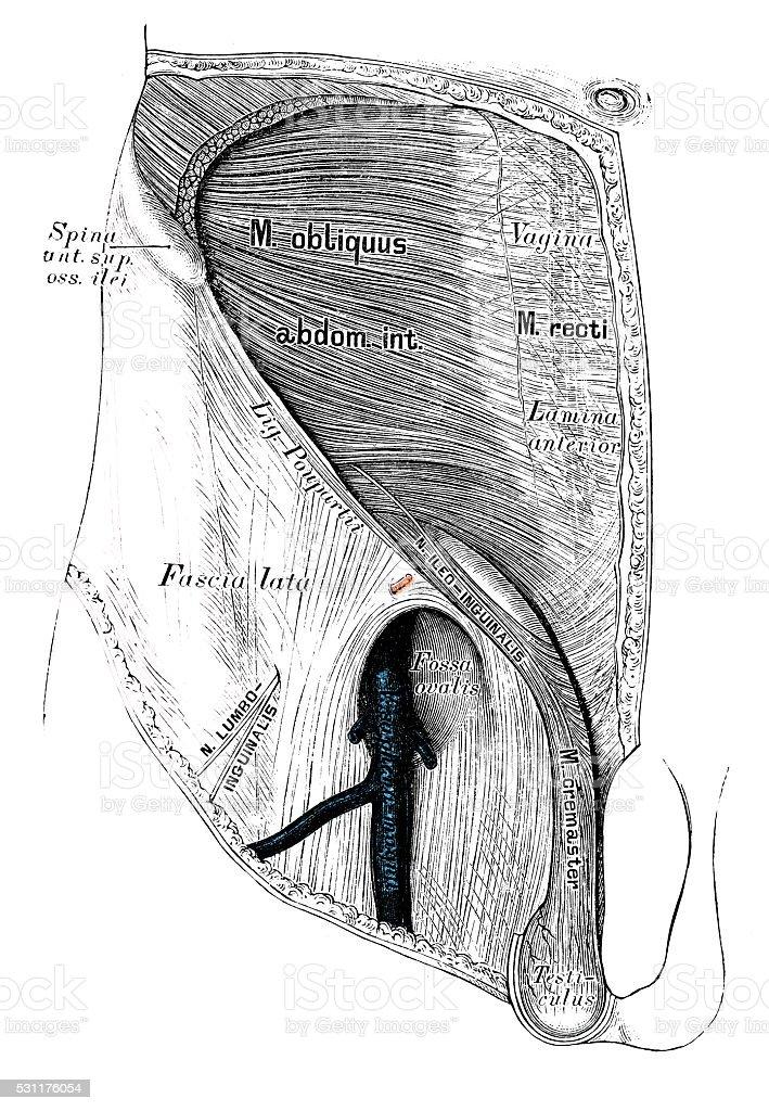 Human anatomy scientific illustrations: groin lymphatic vessel vector art illustration