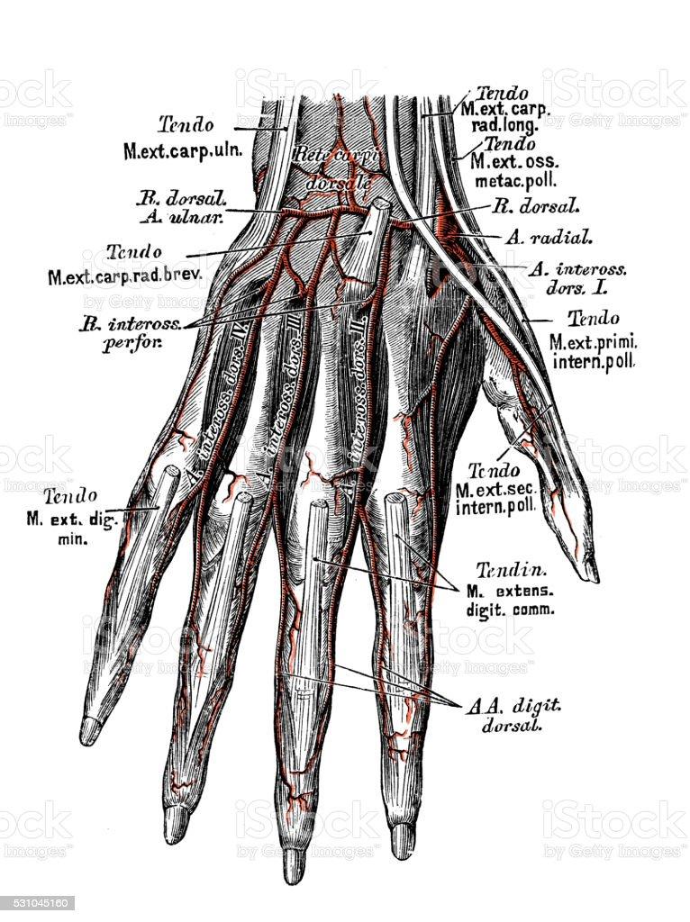 Human anatomy scientific illustrations: hand arteries vector art illustration