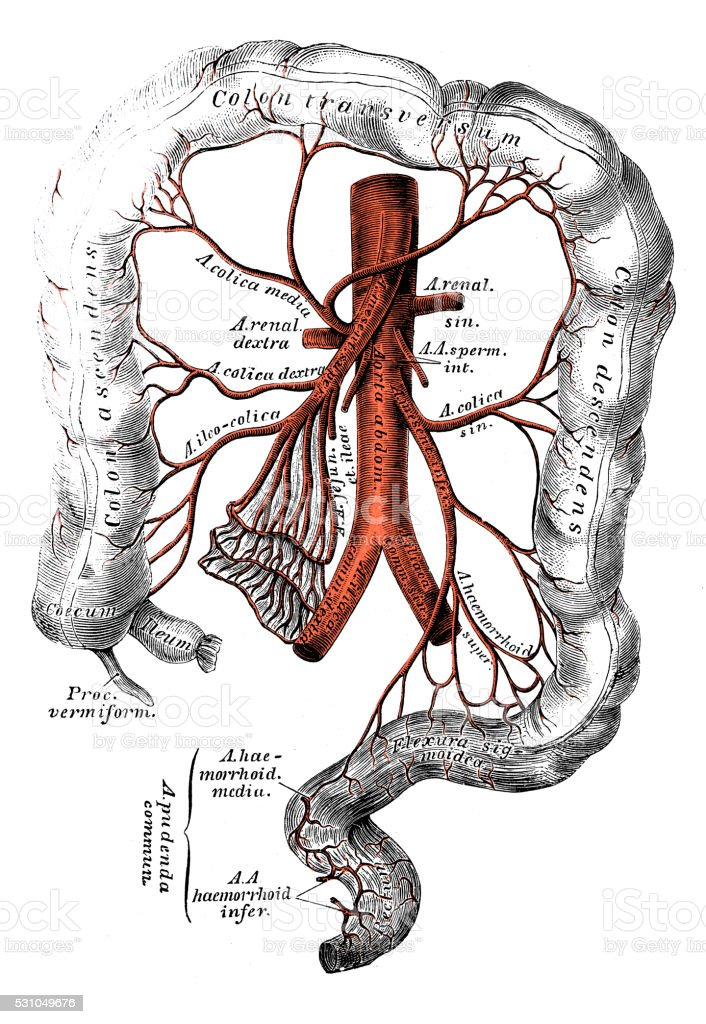 Human anatomy scientific illustrations: Inferior mesenteric artery vector art illustration