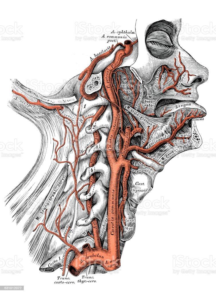 Human anatomy scientific illustrations: Internal carotid artery and vertebral artery vector art illustration