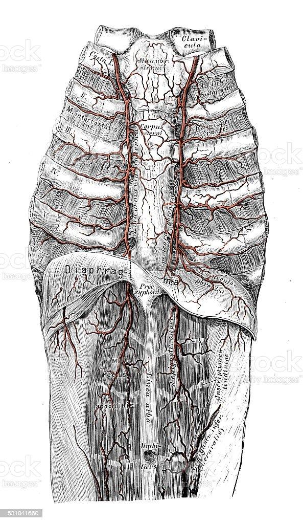 Human anatomy scientific illustrations: Internal thoracic artery vector art illustration