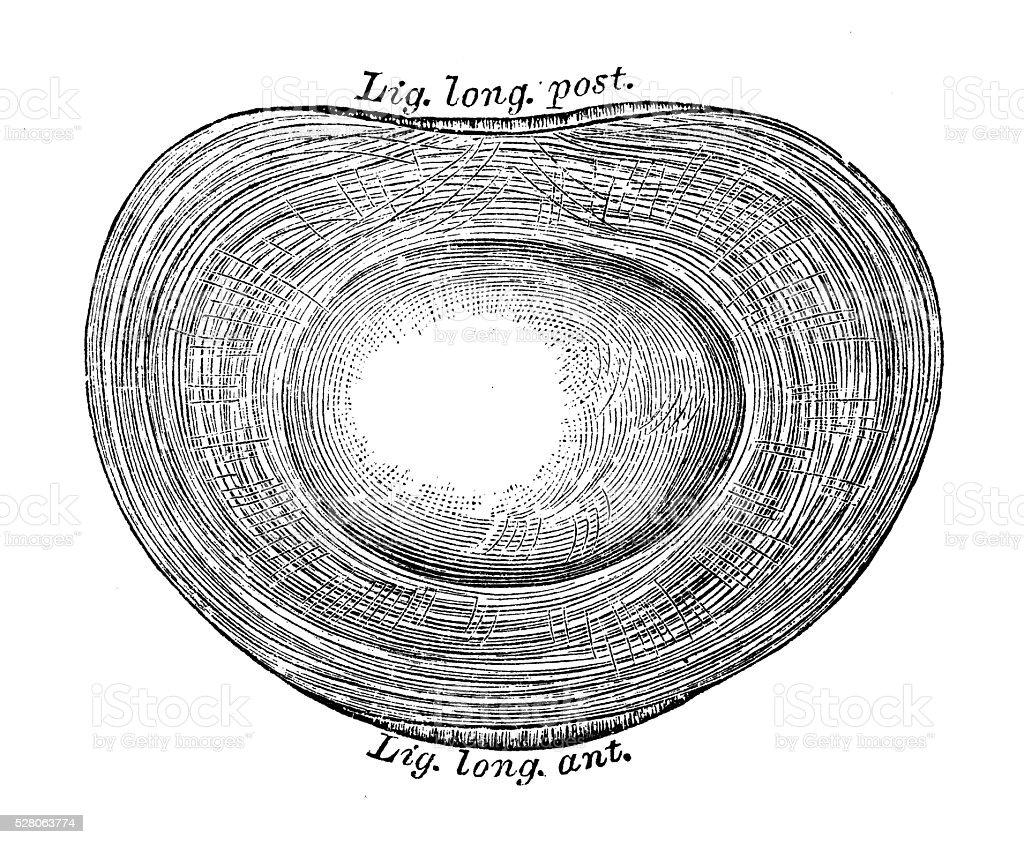 Human anatomy scientific illustrations: Intervertebral disc vector art illustration