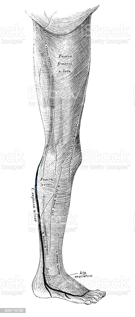 Human anatomy scientific illustrations: leg muscle vector art illustration