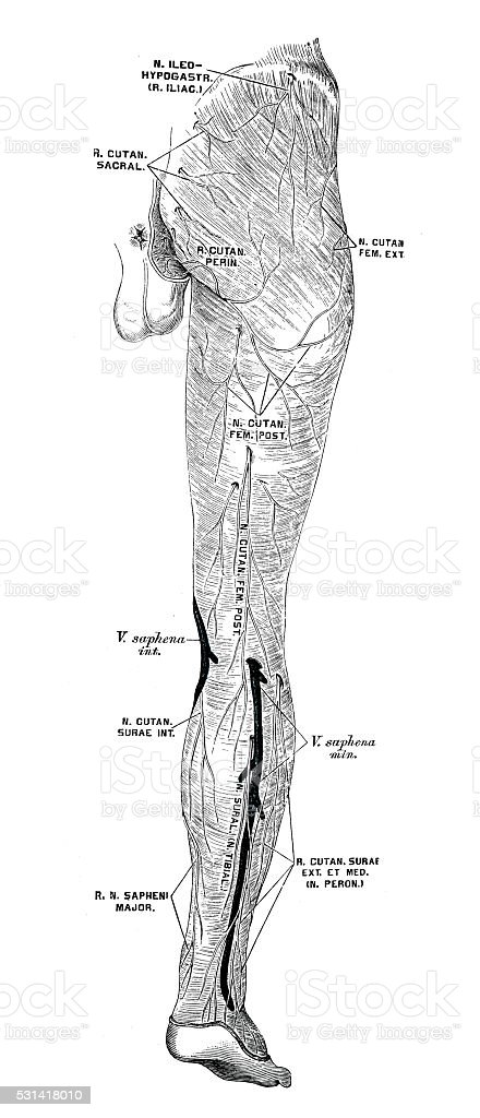 Human anatomy scientific illustrations: leg nerves vector art illustration