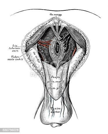 Human Anatomy Scientific Illustrations Male Perineum stock