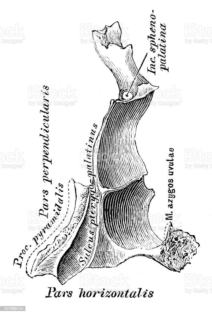 Human anatomy scientific illustrations: Palatine bone vector art illustration