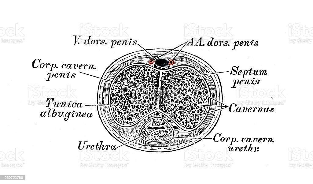 Human anatomy scientific illustrations: Penis section vector art illustration