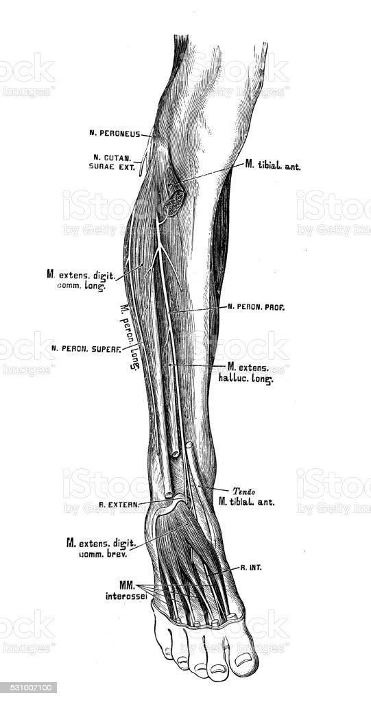 Human anatomy scientific illustrations: peroneal nerve vector art illustration