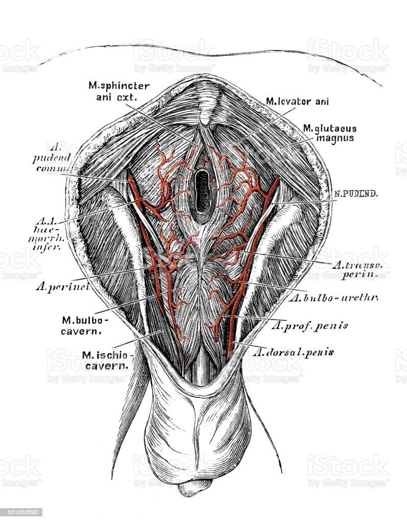 Human anatomy scientific illustrations: pudendal artery vector art illustration