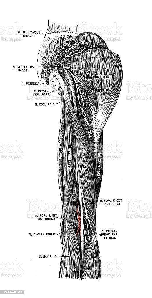 Human anatomy scientific illustrations: Sciatic nerve vector art illustration
