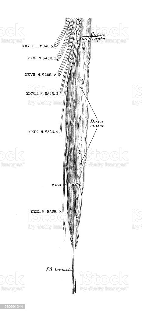 Human anatomy scientific illustrations: Spinal cord (bottom) vector art illustration