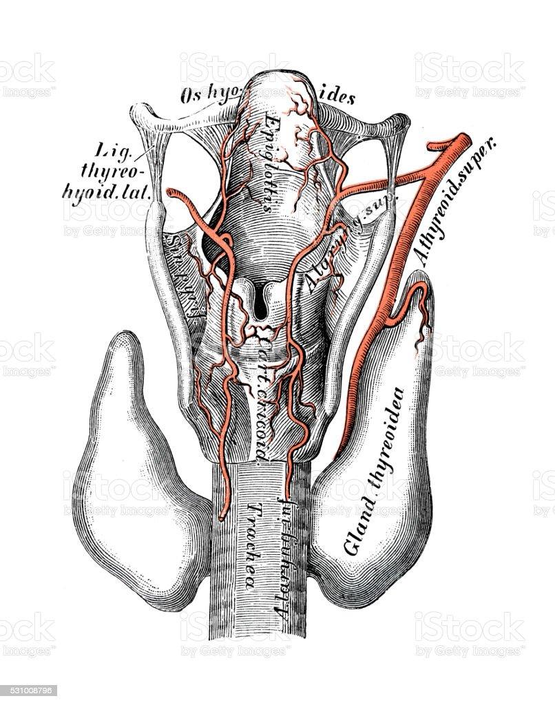 Human anatomy scientific illustrations: Superior thyroid artery vector art illustration