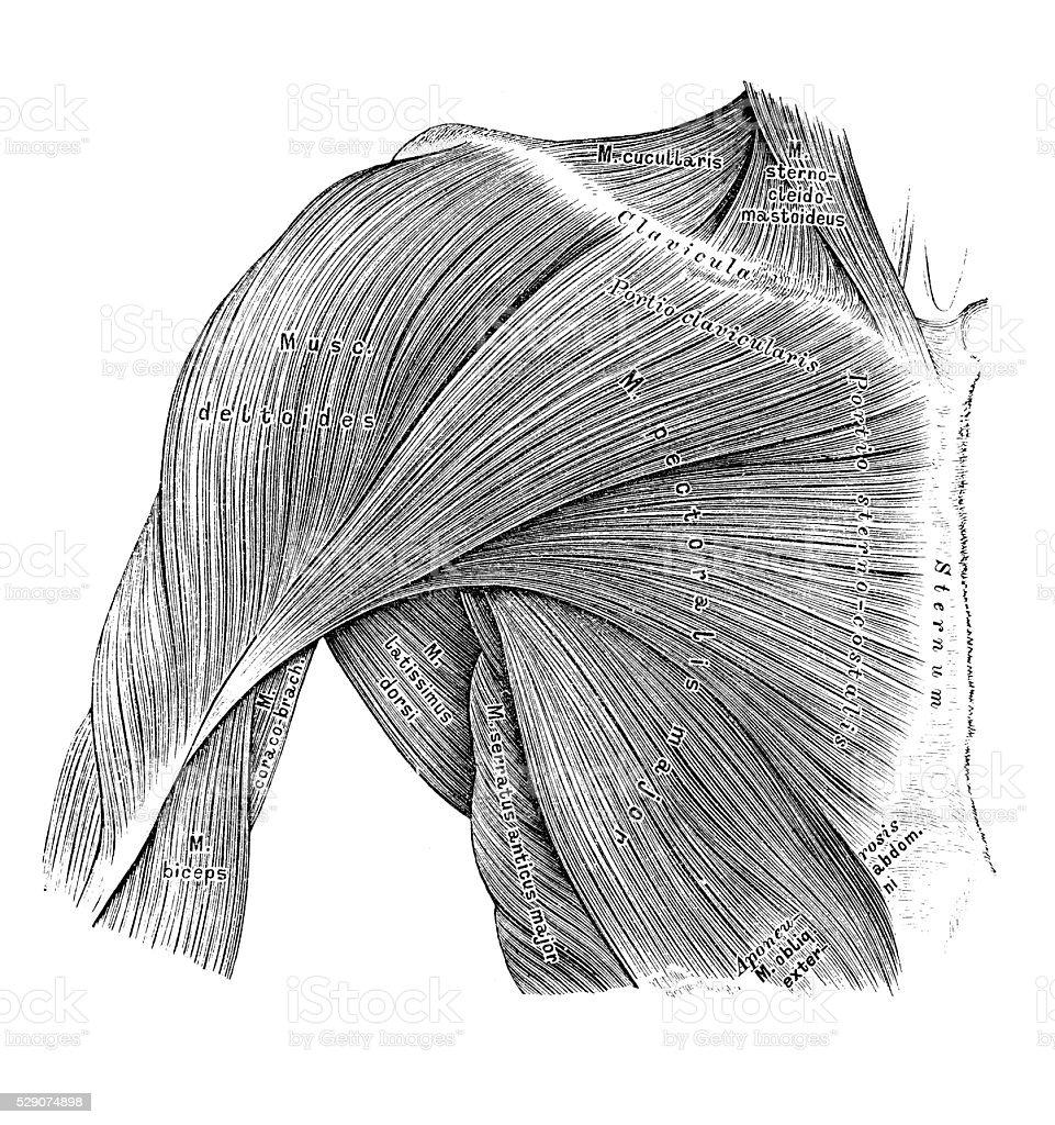 Human anatomy scientific illustrations: Thorax muscles vector art illustration