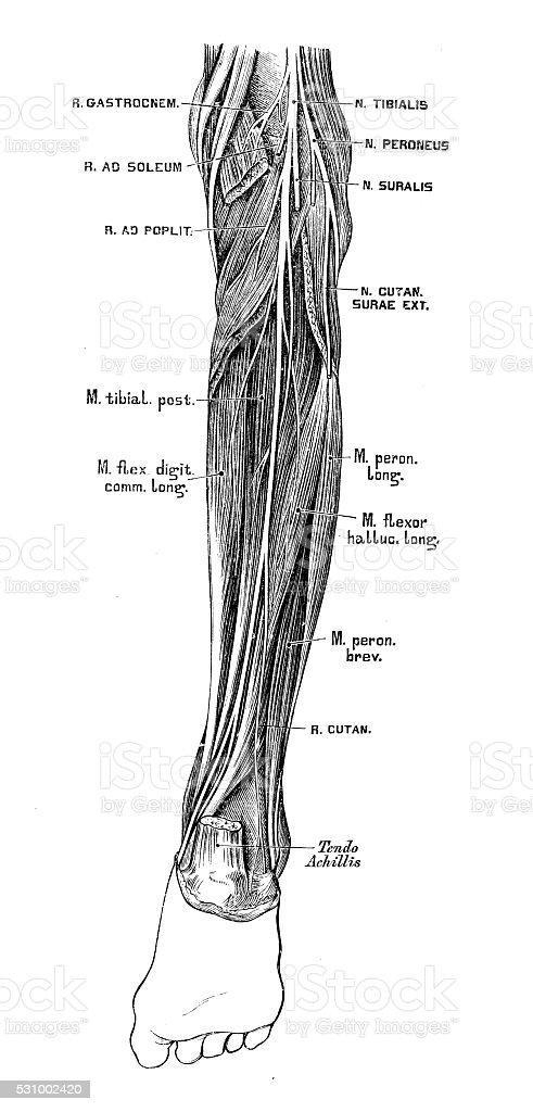 Human anatomy scientific illustrations: Tibial nerve vector art illustration
