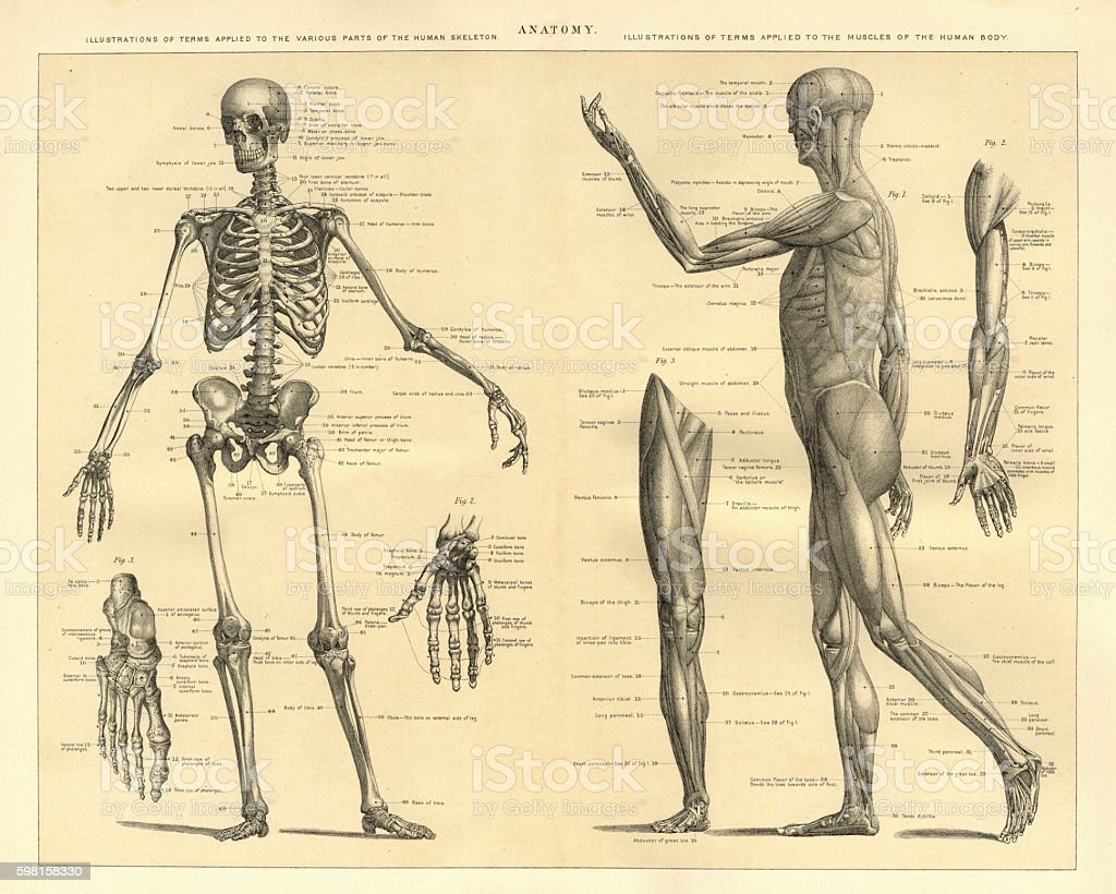 Human Anatomy Skeleton and muscles of the body vector art illustration