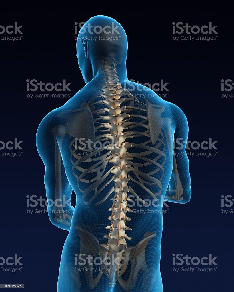 Human back vector art illustration