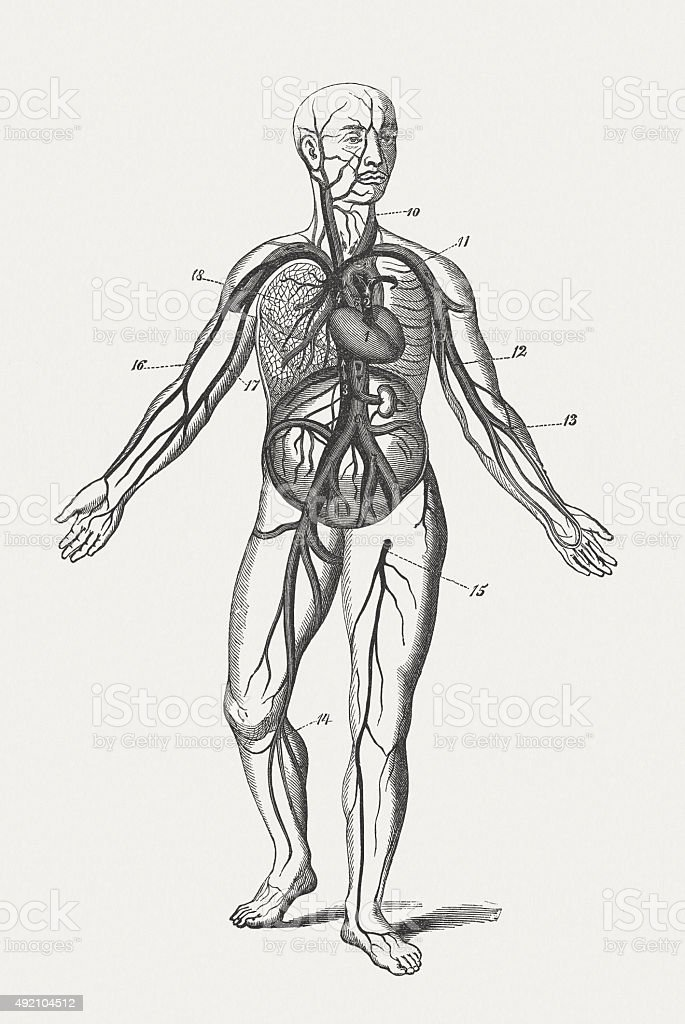 Human blood circulation, wood engraving, published in 1884 vector art illustration