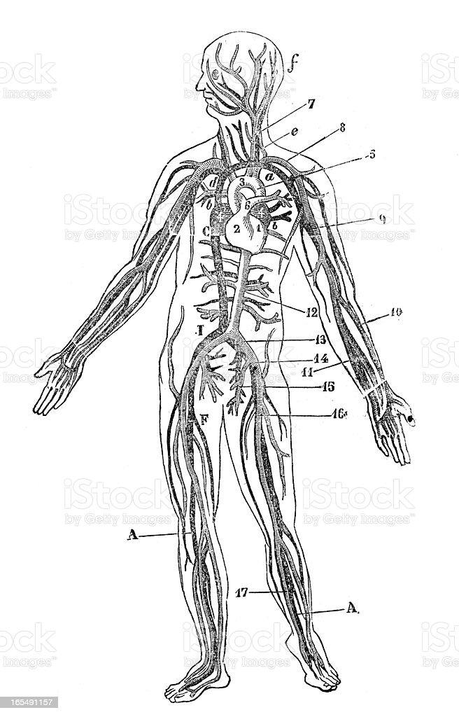 Human blood veins royalty-free stock vector art