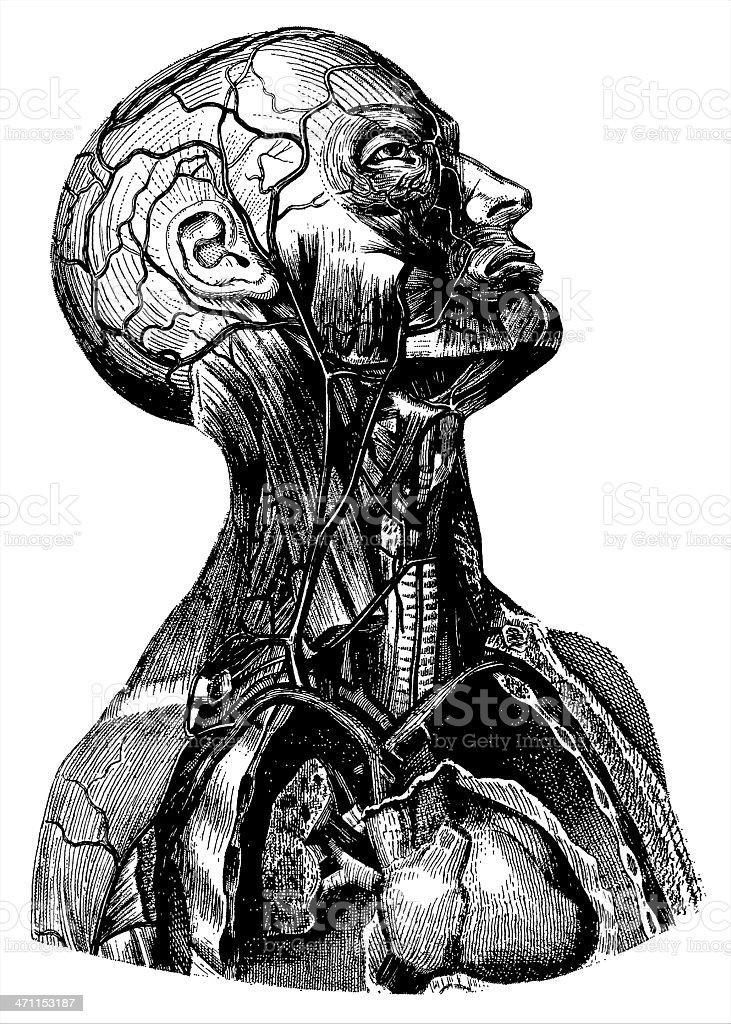 Human Body | Antique Medical Illustration royalty-free stock vector art