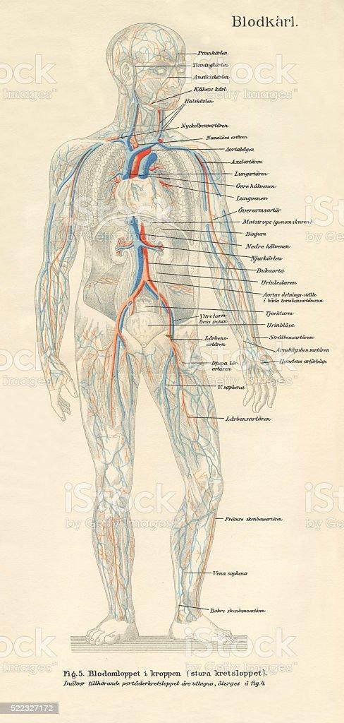 Human Body Nervous and Bloodflow System Diagram Engraving vector art illustration