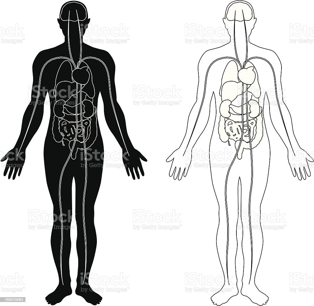 Human body with major internal organs royalty-free stock vector art