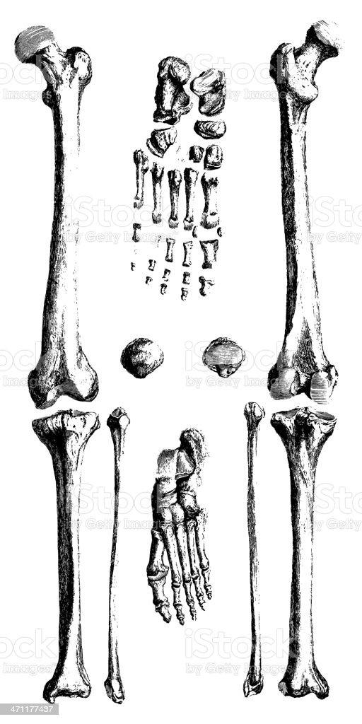 Human Bones | Antique Medical Illustrations vector art illustration