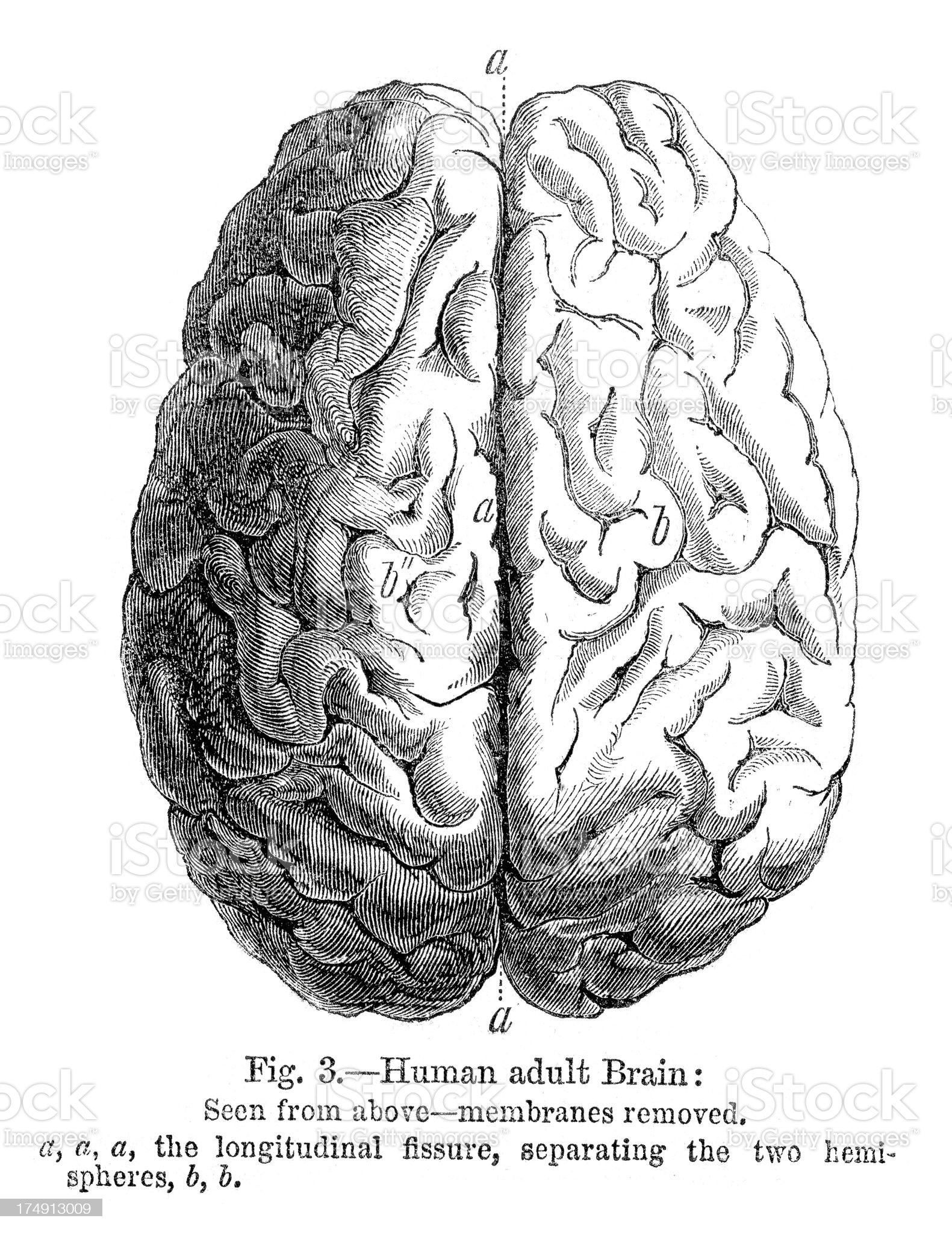 Human Brain royalty-free stock vector art