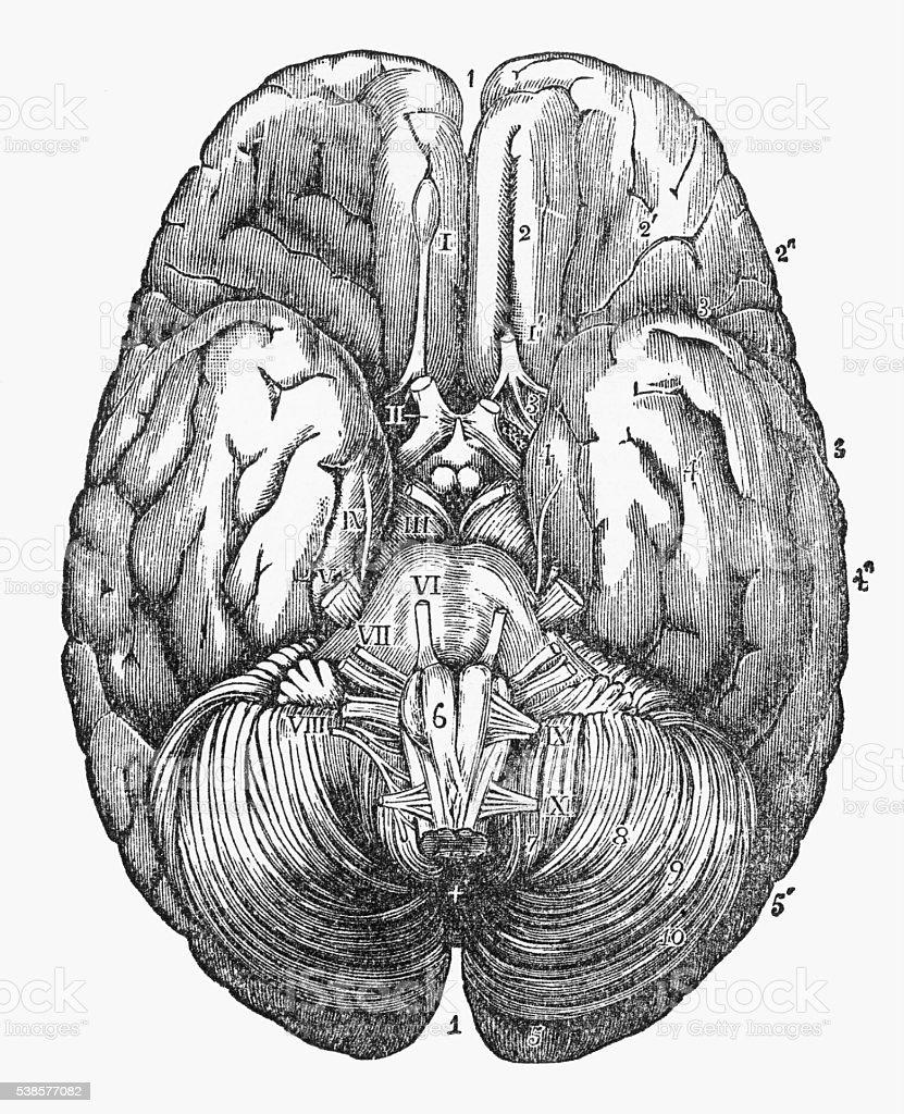 Human Brain Showing the Under Surface Engraved Illustration, Circa 1880 vector art illustration