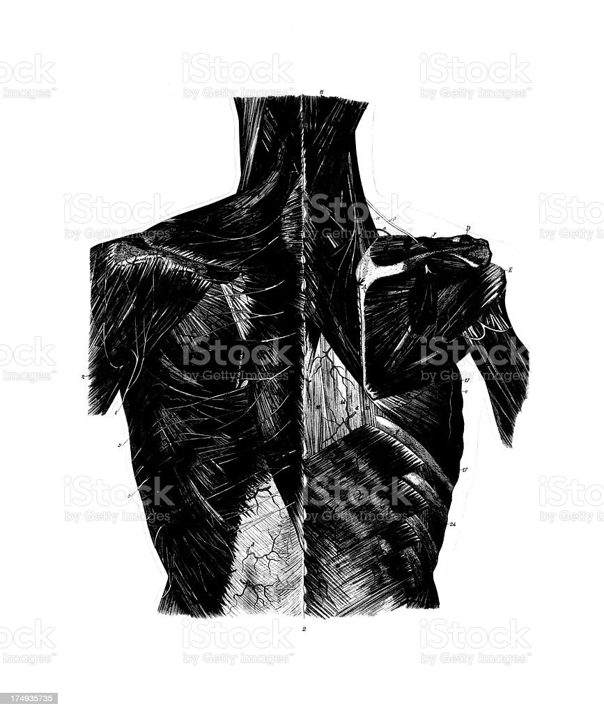 Human Chest Anatomy | Antique Medical Scientific Illustrations and Charts royalty-free stock vector art