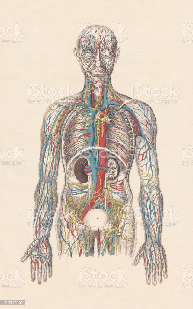 Human circulatory system, hand-coloured engraving, published in 1861 vector art illustration
