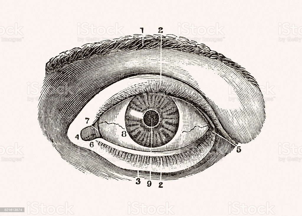 Human Eye 19 century medical illustration vector art illustration