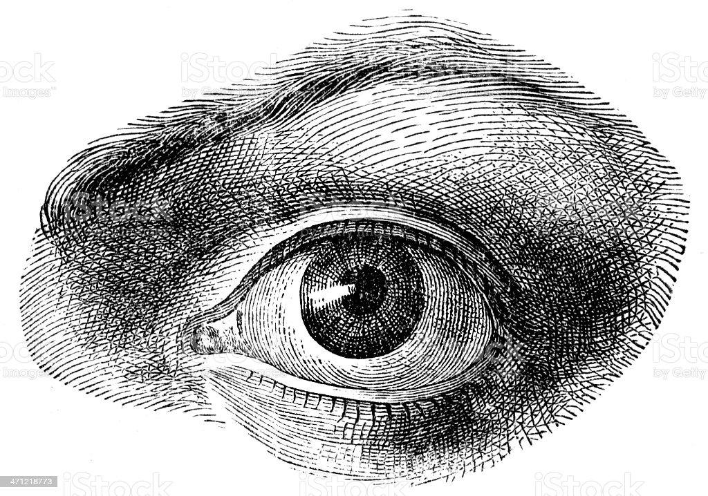 human eye royalty-free stock vector art