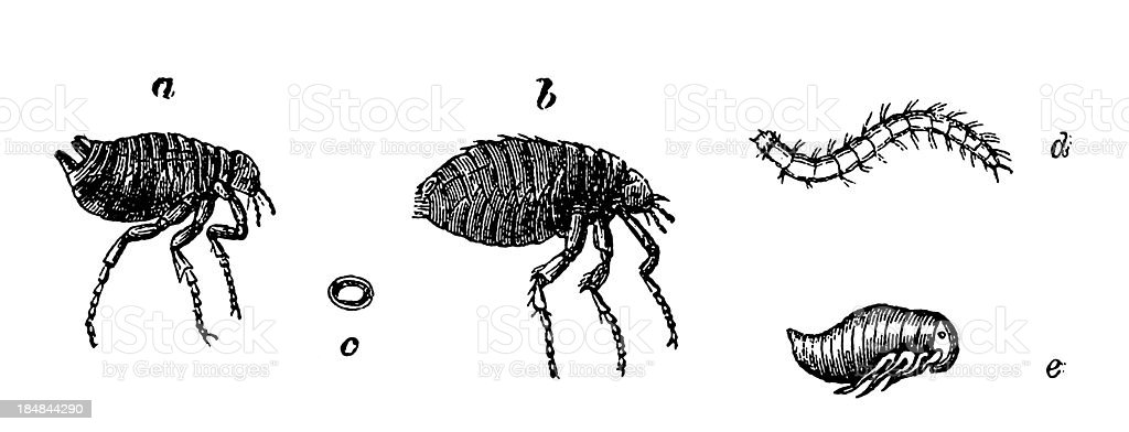 Human Flea (Pulex Irritans) vector art illustration