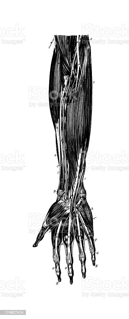 Human Forearm Muscles | Antique Medical Scientific Illustrations and Charts royalty-free stock vector art