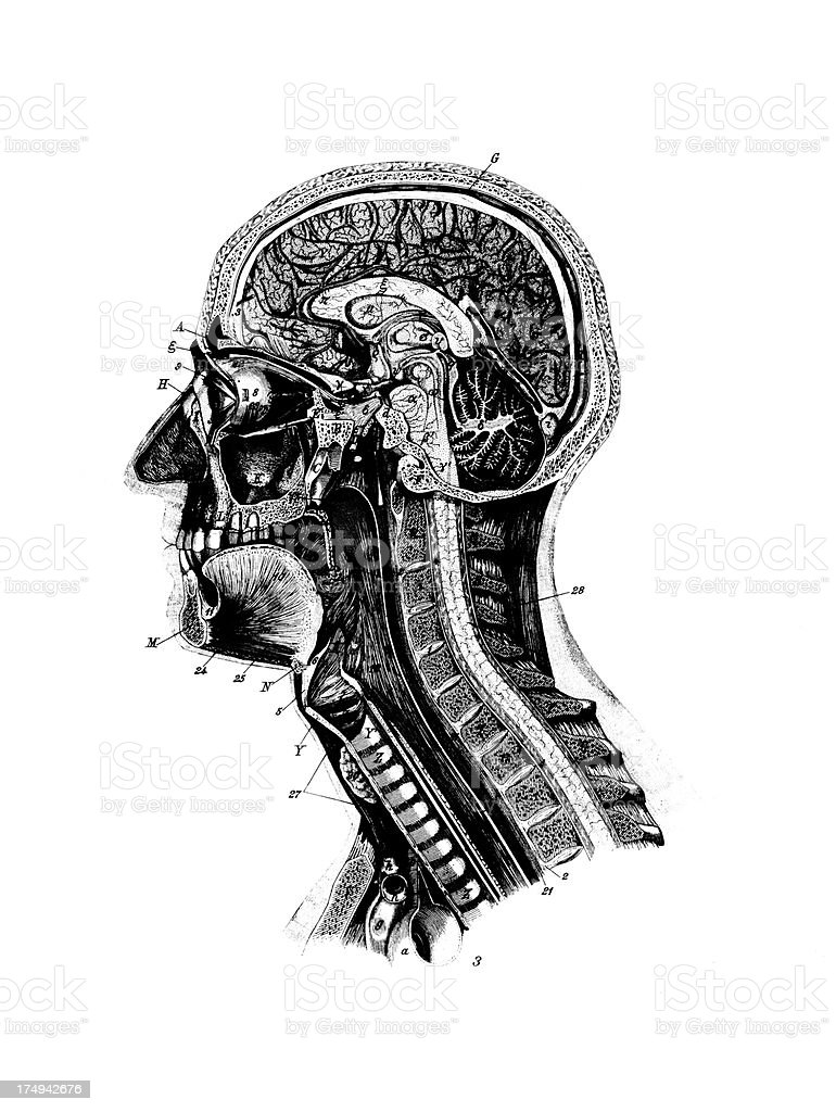 Human Head    Antique Medical Scientific Illustrations and Charts royalty-free stock vector art