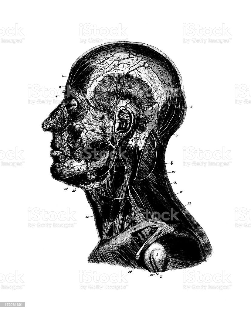 Human Head  | Antique Medical Scientific Illustrations and Charts royalty-free stock vector art