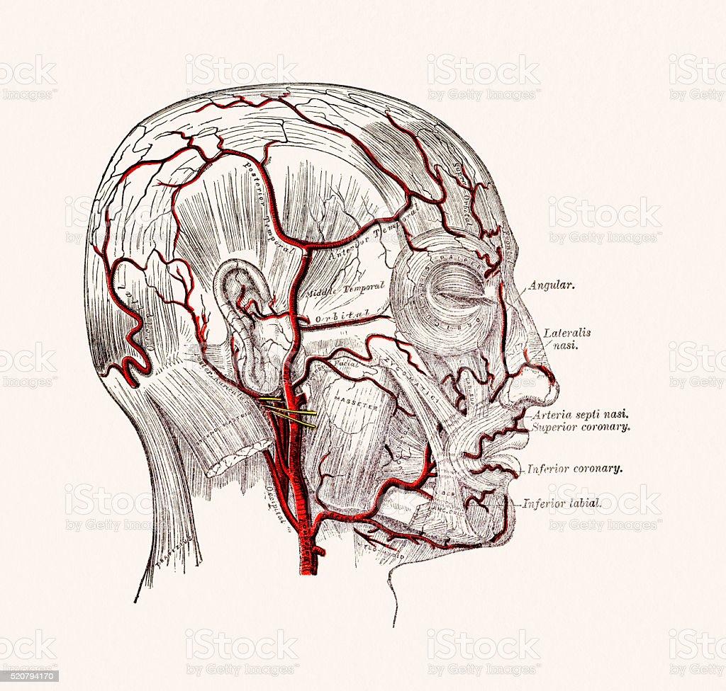 Human Head Blood Vessels Anatomy 19 century medical illustration vector art illustration
