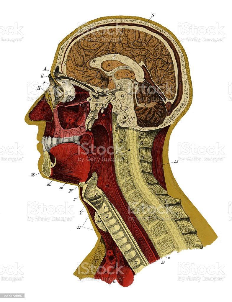 Human Head (Antique Medical Scientific Illustrations) stock photo